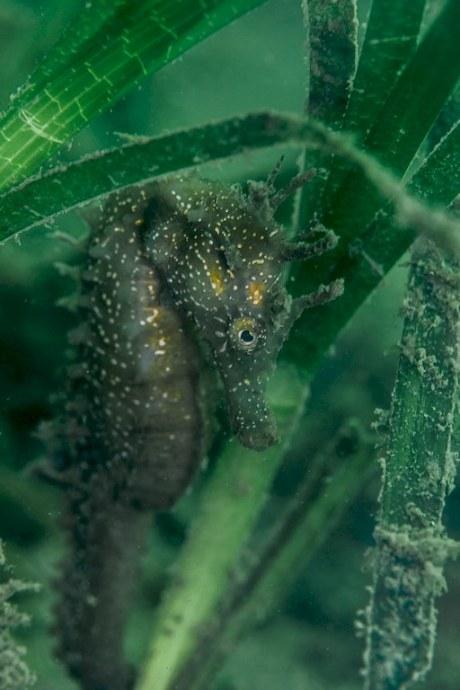 Un hippocampe dans le bassin d'Arcachon.