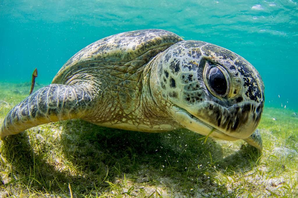 Une tortue marine occupée à brouter dans l'herbier.