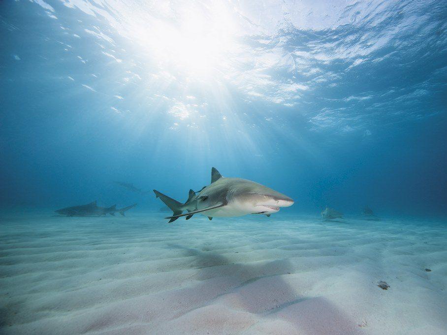 Des requins évoluant sur un fond sablonneux.