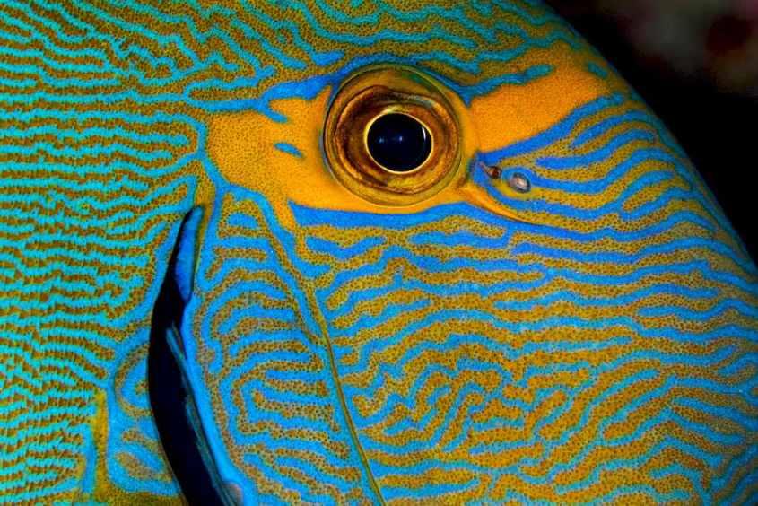L'oeil d'un poisson coloré pris en macro.
