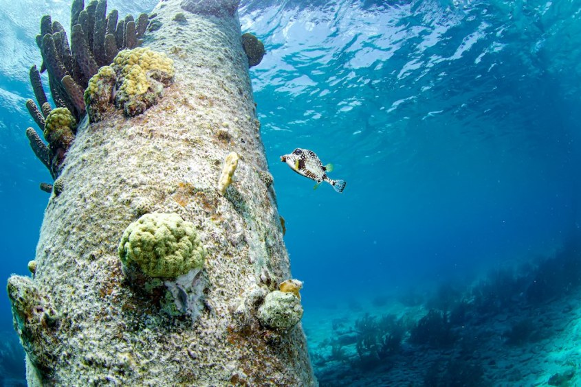 Un petit poisson coffre près d'un pilastre lors d'une plongée à Bonaire.