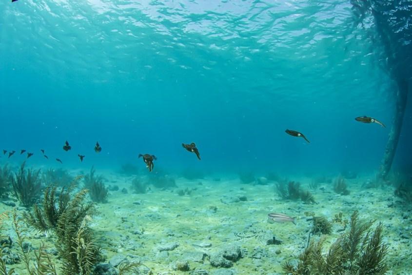 Plonger au Salt Pier à Bonaire permet d'avoir des surprises comme ce banc de seiches.