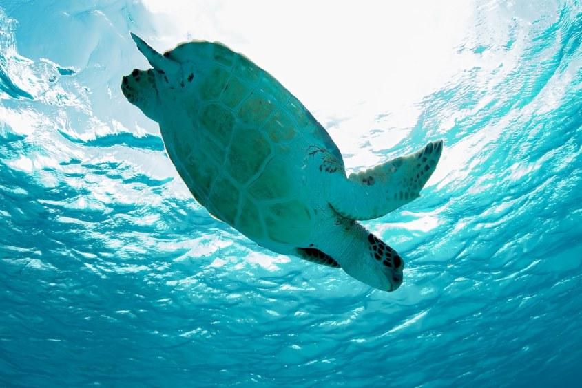 Une tortue s'enfonce dans les eaux claires de Bonaire