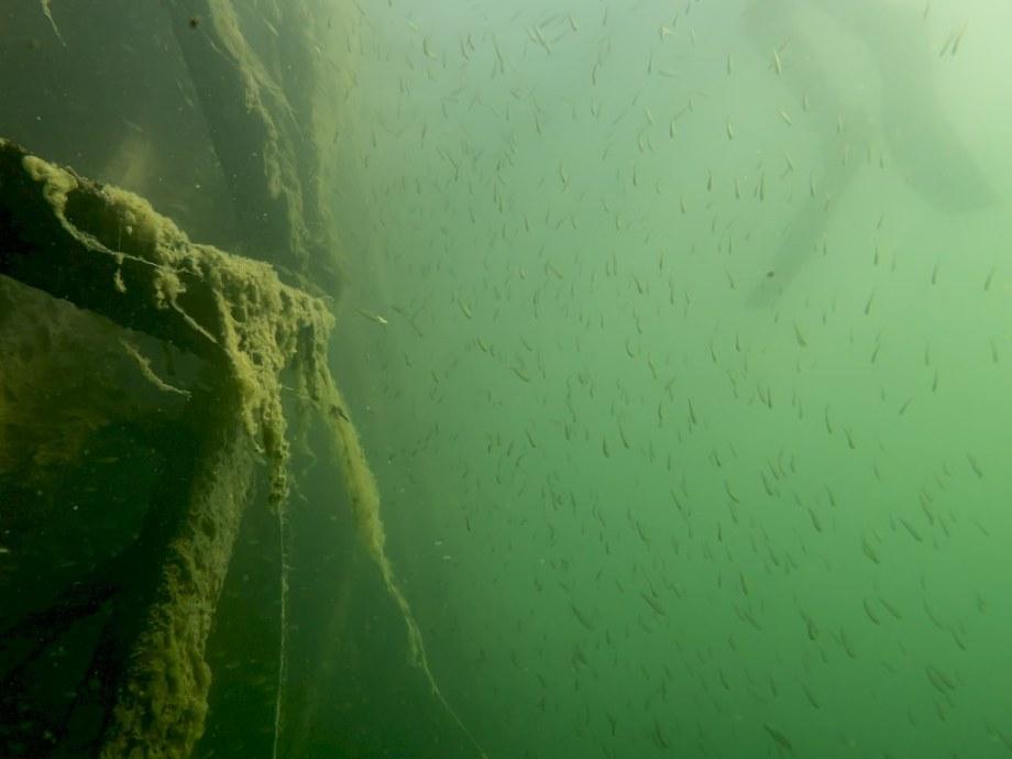 Des myriades de poissons autour de l'ancienne passerelle.