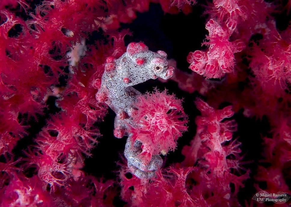 Hyppocampe pygmée avec des polypes en fleurs.