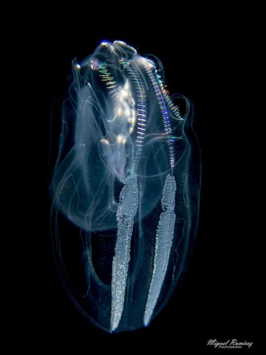 Créature marine photographiée lors d'une plongée à Anilao.