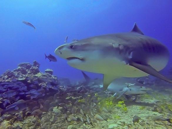 Une monitrice de plongée mordue par un requin tigre en Calédonie comme ce spécimen sur la photo.