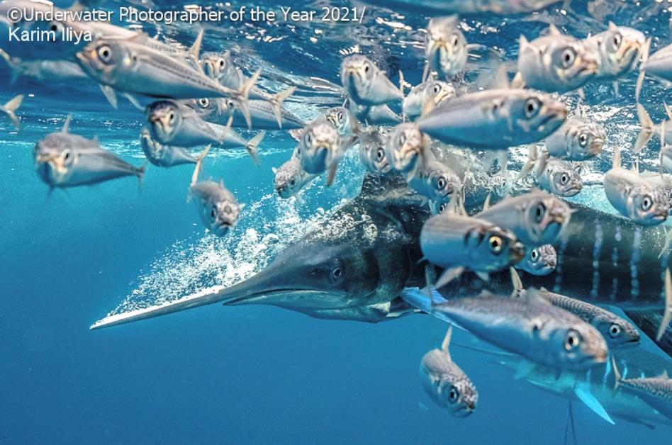 Un marlin occupé à chasser