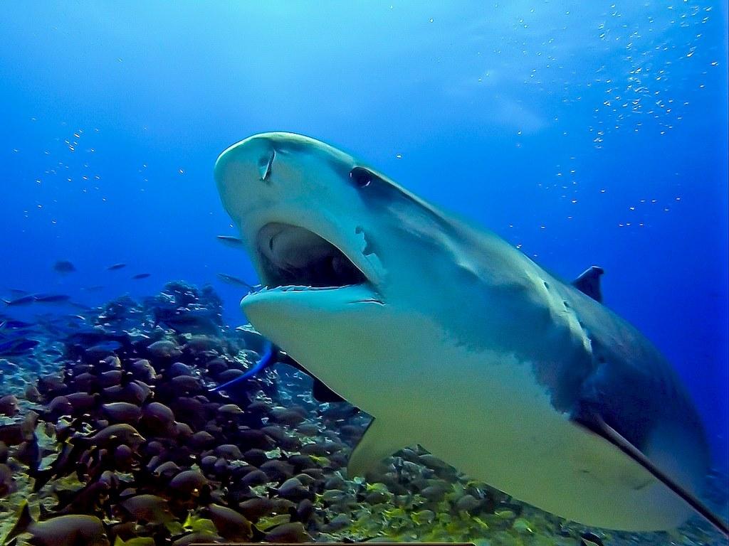 Manger du requin à l'île de La Réunion est l'idée annoncée par le sous-préfet.