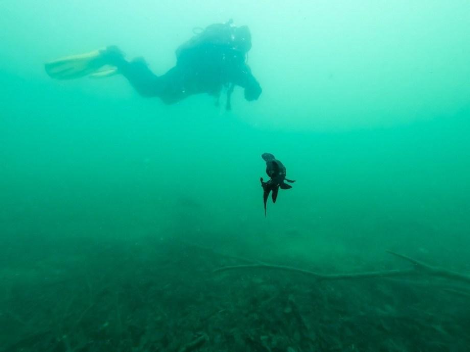 Un polyodon à spatule se dirige vers un plongeur.