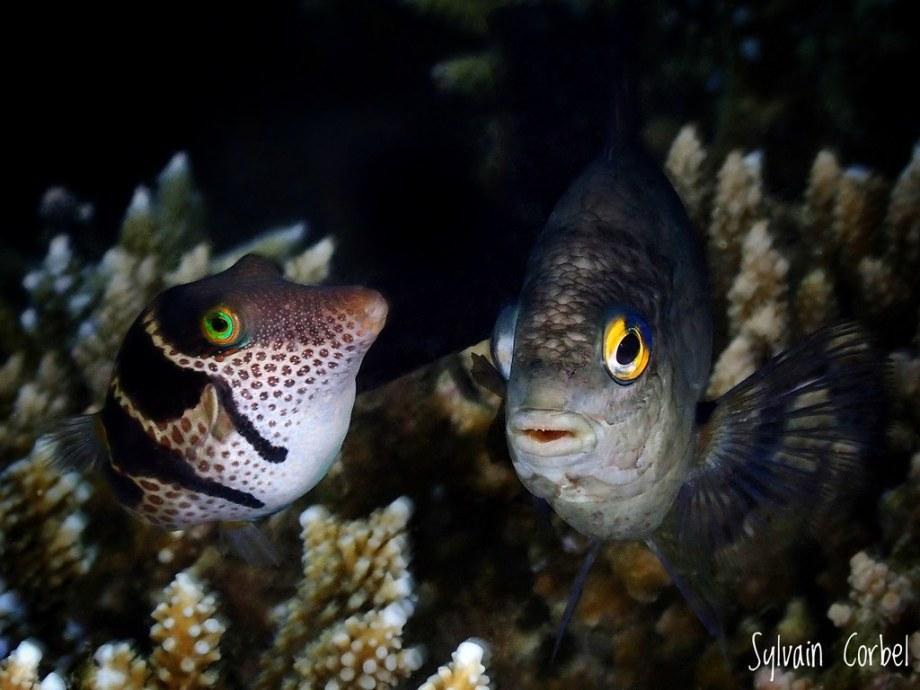Deux poissons photographiés par Sylvain Corbel.