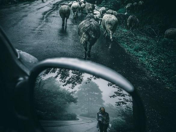 Mouton ou complotiste ? C'est peut-être la question que se pose cette personne devant ce troupeau.