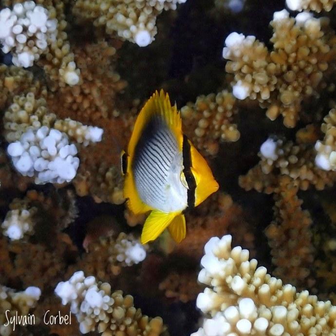 Un joli poisson-papillon près du corail.