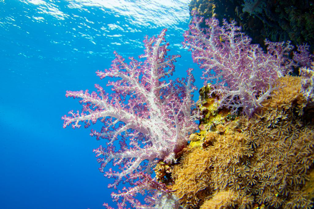 Des coraux mous à Zabargad.