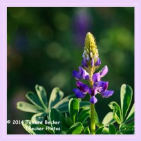 Sq Framed Lupine