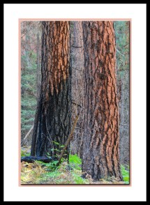 pine-trees-burned-west-fork-2813