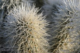 cholla cactus covered in dew drops