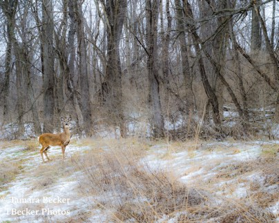 Deer along the road in Lacey Keosauqua State Park