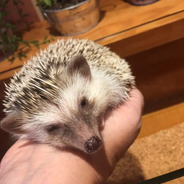 Harry Hedgehog Cafe Harajuku is a cute thing to do in Tokyo