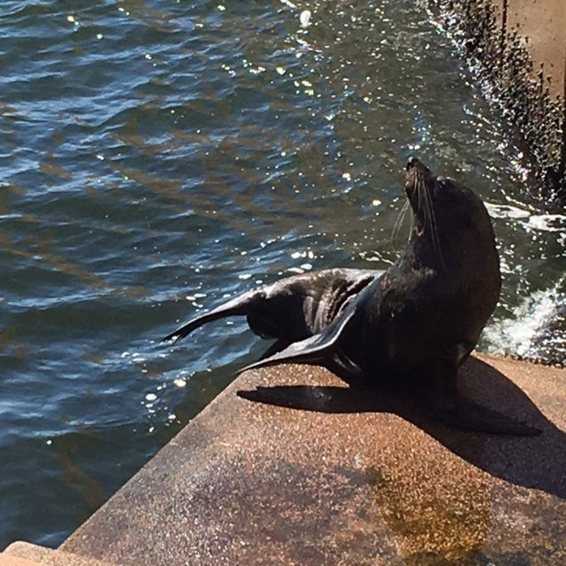 Benny The Seal lives on the steps of the Sydney Opera House. It's one of our fun things to do in Circular Quay.