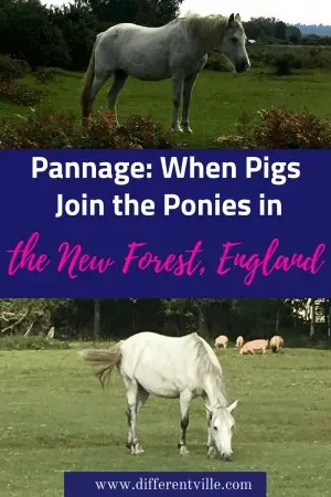 If you are in the UK's New Forest in October you might notice some pigs running around along the wild ponies - here's why. #newforest #pannage #ukcountryside