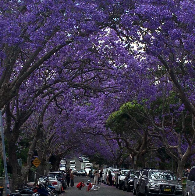 Looking for the Jacaranda Tree Tunnel Sydney's Location? Well the Jacaranda tree tunnel is in McDougall Street Sydney. It's a photographers dream between October and November, jacaranda blooming season.