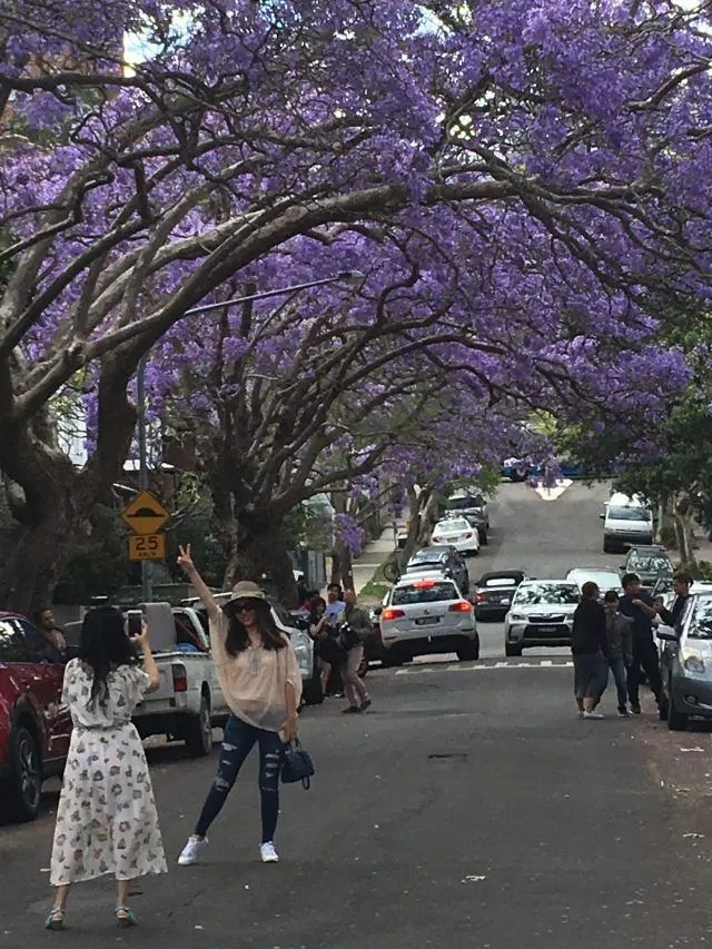 Between October and November McDougall Street in Sydney's Kirribilli creates a jacaranda tree tunnel of gorgeous purple flowers. Here's where to find the jacaranda street Sydney