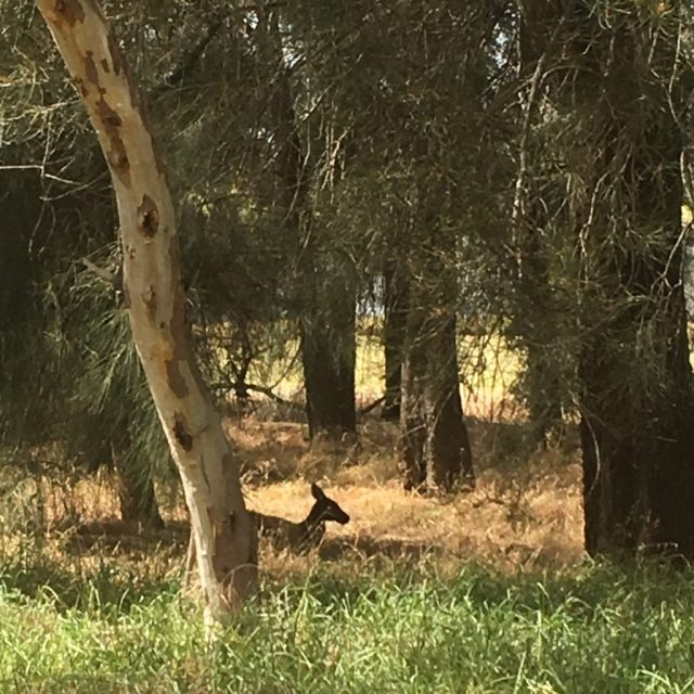 Heriisson Island in East Perth is home to a small group on kangaroos. If you want to see them hopping in a semi-wild environment this is your best bet near the city. That's why it's one of my top twenty fun things to do in Perth