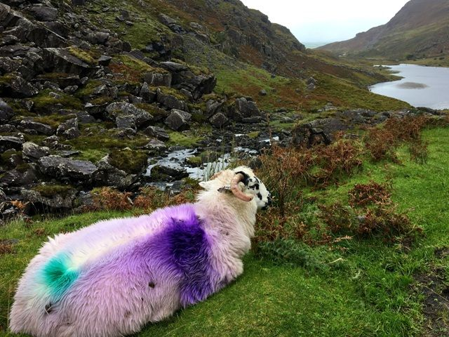 It's common for Irish farmers to paint their sheep, here's why