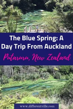The Blue Spring in Putaruru, New Zealand is one of the most beautiful things I've ever seen - and it's an easy day trip from Auckland. Here's what you need to know. #newzealand #daystripsfromauckland #thebluespring