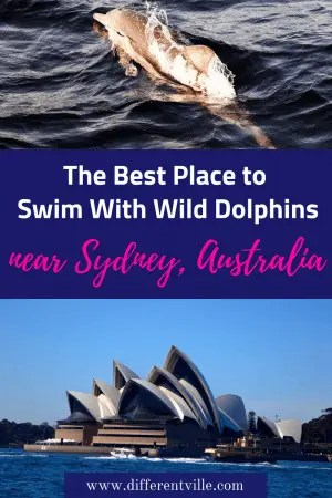 You can swim with wild dolphins just a short day trip away from Sydney, Australla. The best bit - it's completely humane and eco approved. #thingstodoinsydney #dolphinsswims #nelsonbay