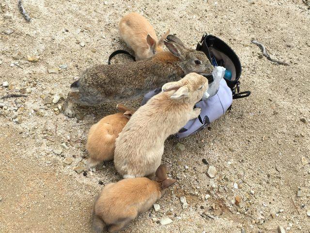 Over 1000 rabbits live on Okunoshima, aka Rabbit Island off the coast of Japan, and they love people!