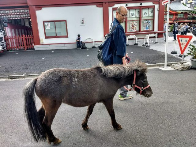 This pony lives at the Kanda Myojin Shirne in Akihabara - his job is to ferry about any gods that need a lift from A-B. Definitely one of the unique things to see in Tokyo