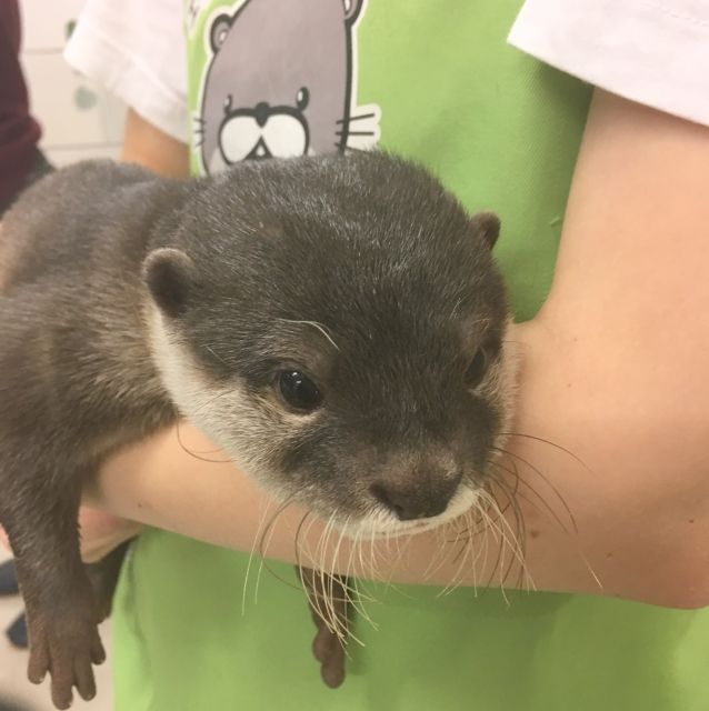 Otter being held by a keeper at the otter cafe in Fukuoka