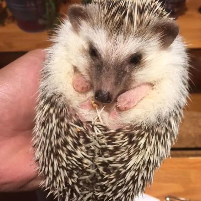 Hedgehog being held at Harry Hedgehog Cafe in Harajuku, Japan