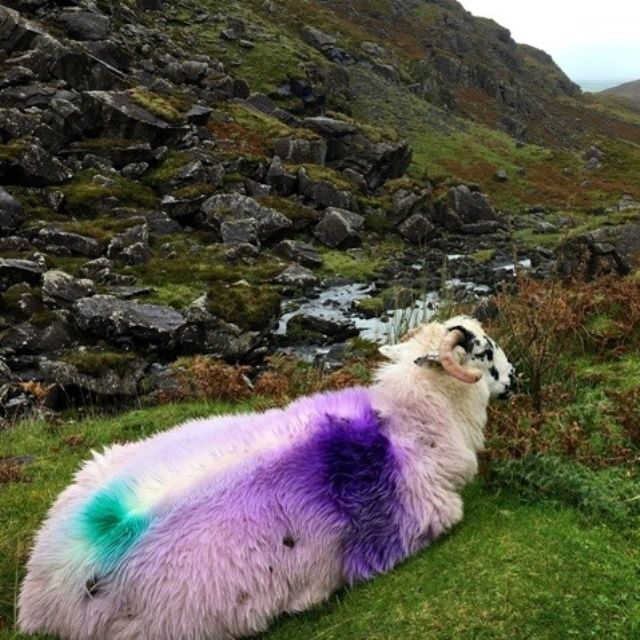 A sheep with purple and green paint on it's back in Ireland.