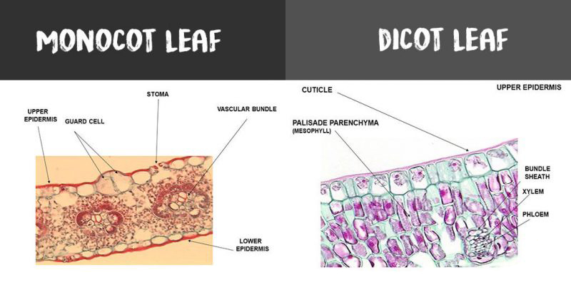 Root Cross Monocot Dicot Root Section And