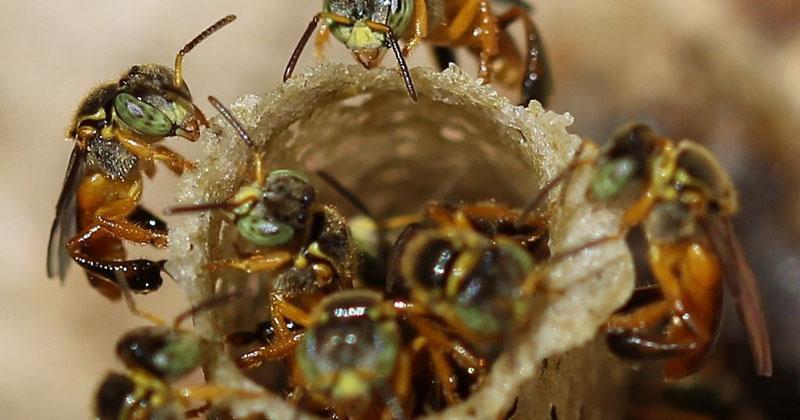 Potencial regional para criação de abelhas sem ferrão é tema de palestra em Assis