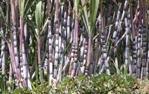 Secretaria de Agricultura lança publicação sobre derivados de cana-de-açúcar
