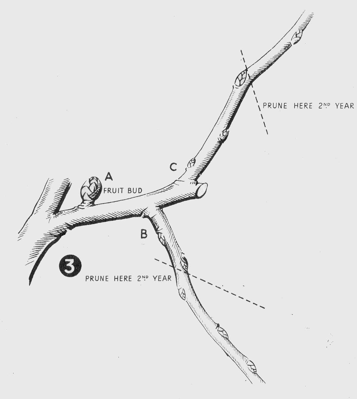 how to prune an apple tree diagram western salt spreader wiring pruning fruits plum damson cherry pear