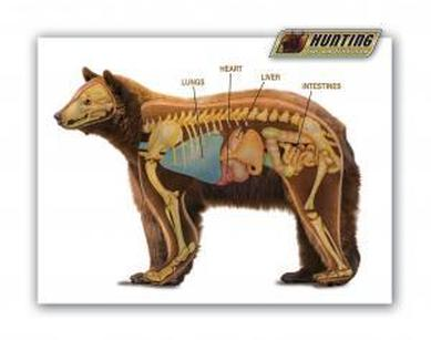 Brown Bear Ursus arctos  Digestive System of Different Phylum's