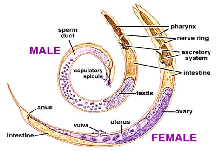 slug anatomy diagram ca siteminder sso architecture roundworms - digestive systems in different phylums