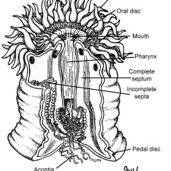 Earthworm Digestive System Diagram Dual Xd250 Radio Wiring Sea Anemone - Systems In Different Phylums