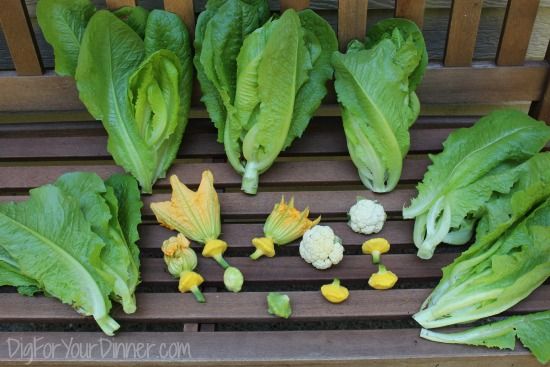 kitchen garden harvest lettuce
