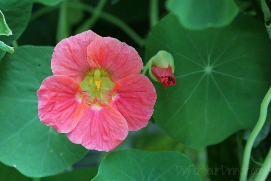 pink nasturtium bloom