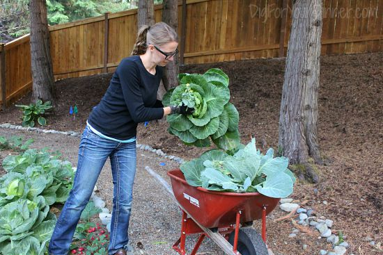 pulling cabbage