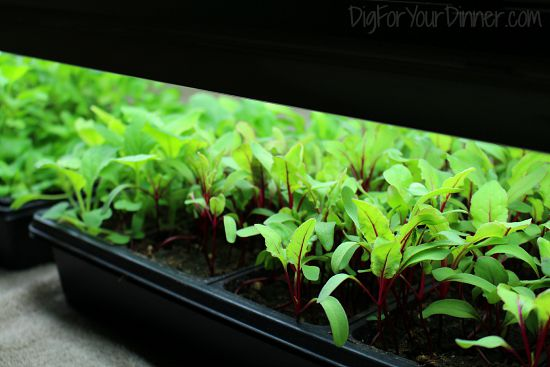 beet seedlings under grow lights