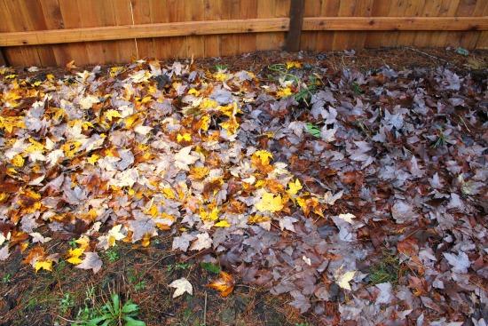 fall leaves lasagna garden