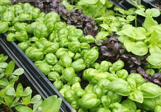greenhouse-basil-flats