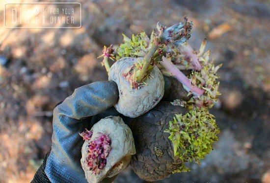 seed-potatoe